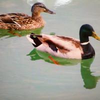 1015. nap: Kis kacsa fürdik, fekete tóban